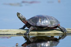 Eastern Painted Turtle on Log Royalty Free Stock Photography