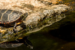 Eastern Painted Turtle. A Painted Turtle relaxing by the edge of a pond Stock Images