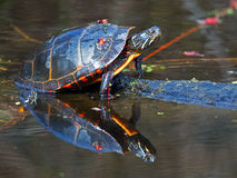 Eastern Painted Turtle. Sitting in a pond Royalty Free Stock Photos