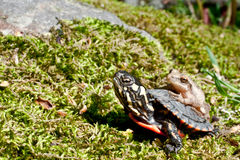 Eastern Painted Turtle and Spring Peeper. A Spring Peeper hitching a ride on an Eastern Painted Turtle Stock Images