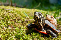 Eastern Painted Turtle and Spring Peeper. A Spring Peeper hitching a ride on an Eastern Painted Turtle Royalty Free Stock Images