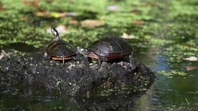 Eastern Painted Turtles on Log.  stock video