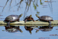 Eastern Painted Turtles on Log. A Group of Eastern Painted Turtles resting on a log Stock Image