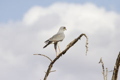 Eastern Pale Chanting Goshawk Stock Photography