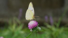 Eastern pale clouded yellow and trifolium pratense stock footage