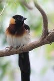Eastern paradise whydah Stock Image