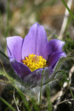 Eastern Pasque Flower. Blooming purple flower Eastern Pasque Royalty Free Stock Images