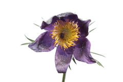 Eastern Pasque Flower (Pulsatilla patens) isolated on white Royalty Free Stock Photography