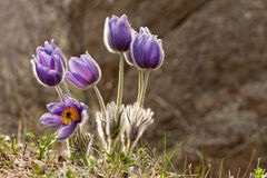Eastern pasqueflower flowers Royalty Free Stock Photography