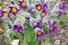 Eastern pasqueflower Stock Images
