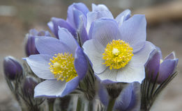 Eastern pasqueflowers Royalty Free Stock Image