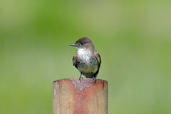 Eastern Phoebe Royalty Free Stock Photo