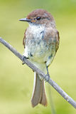 Eastern Phoebe. Standing on a branch Stock Image