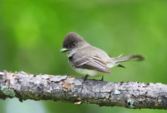 Eastern Phoebe. An eastern phoebe eats a caterpillar in Stokes State Forest in New Jersey Stock Photo