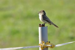 Eastern Phoebe Bird Royalty Free Stock Photography