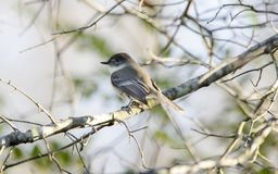 Eastern Phoebe bird perched in tree, Georgia, USA royalty free stock images