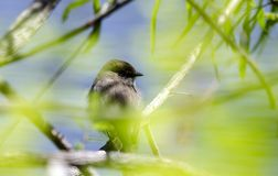 Eastern Phoebe songbird hiding in leaves, Walton County Georgia,  USA. Eastern Phoebe bird, Sayornis phoebe, perched on branch over blue pond hiding in green Royalty Free Stock Photo