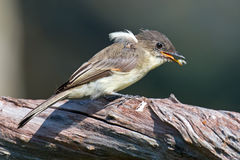 Eastern Phoebe Stock Photos