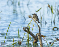Eastern Phoebe perched with blue reflections Stock Photos
