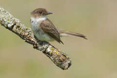 Eastern Phoebe. Perched on a dead branch Stock Photos