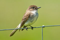Eastern Phoebe. Perched on a page wire fence Stock Photography