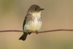 Eastern Phoebe Royalty Free Stock Images