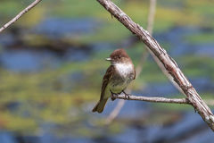 Eastern Phoebe Royalty Free Stock Photography