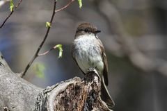 Eastern Phoebe. (Sayornis phoebe) perched in a tree Stock Images