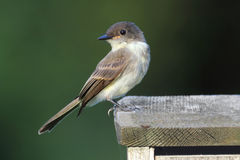 Eastern Phoebe (Sayornis phoebe) Stock Photos