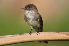 Eastern Phoebe (Sayornis phoebe) Royalty Free Stock Images