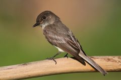 Eastern Phoebe (Sayornis phoebe) Stock Photo