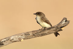 Eastern Phoebe - Texas Stock Photos