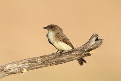 Eastern Phoebe - Texas Stock Images