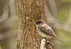 Eastern Phoebe, Sayornis phoebe Royalty Free Stock Photos