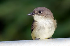 Eastern Phoebe Royalty Free Stock Image