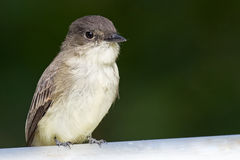 Eastern Phoebe Stock Photo