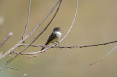 Eastern Phoebe Song Bird Royalty Free Stock Photography