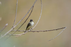 Eastern Phoebe Song Bird Stock Photos