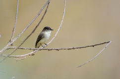 Eastern Phoebe Song Bird Stock Photography