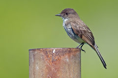 Eastern Phoebe Stock Images