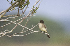 Eastern Phoebe, Viera Wetlands. An eastern phoebe flycatcher perched on a branch, at the Viera Wetlands in Brevard County, Florida Stock Photography