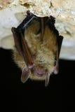 Eastern Pipistrelle Bat Closeup royalty free stock images