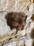 Eastern pipistrelle bat (Pipistrellus subflavus) royalty free stock photography