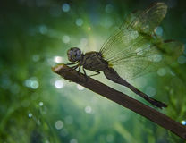 Eastern Pond Hawk Dragonfly. Erytemis Simplicolis. Is a male dragonfly also called Common Pond Hawk Dragonfly of the Family Libellulidae Royalty Free Stock Photos