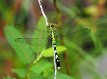 Eastern Pondhawk Dragon Fly Stock Images