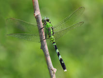 Eastern Pondhawk Dragon Fly Royalty Free Stock Photo