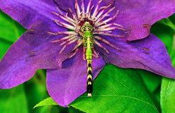 Eastern Pondhawk Dragonfly on Clematis Royalty Free Stock Images