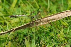Eastern Pondhawk Dragonfly - Erythemis simplicicollis. Female Eastern Pondhawk Dragonfly perched on a large, dead blade of grass. Also known as a Common Pondhawk stock images
