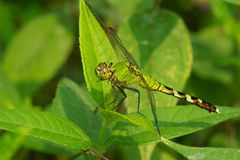 Eastern Pondhawk Dragonfly - Erythemis simplicicollis. Female Eastern Pondhawk Dragonfly perched on a leaf. Also known as a Common Pondhawk. High Park, Toronto royalty free stock images