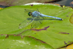Eastern Pondhawk Dragonfly Royalty Free Stock Photos